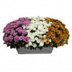 Jadinière de chrysanthème 3 couleurs