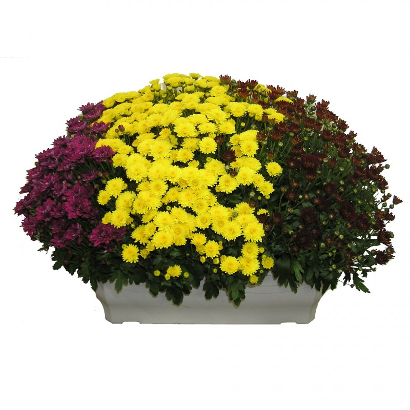 Jardini re de chrysanth me 3 couleurs - Chrysantheme entretien ...