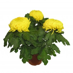 Chrysanthème 3 têtes, fleurs Jaune
