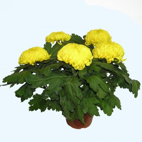 Chrysanth me 5 grosses fleurs de couleur jaune - Chrysantheme entretien ...