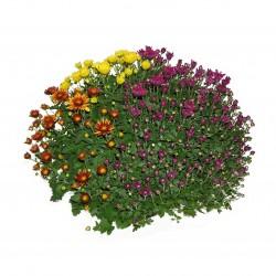 Chrysanthème 3 couleurs