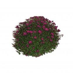 Chrysanthème Violet